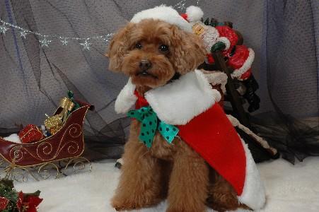 クリスマスのジンジャー.jpg