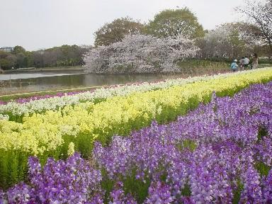 ストックと桜.jpg
