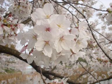 桜花びら.jpg